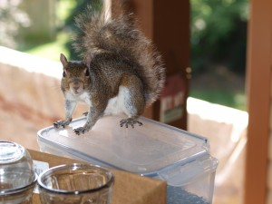 Squirrel sitting atop container of sunflower seeds for the birdies. Note the chewed-off corner.