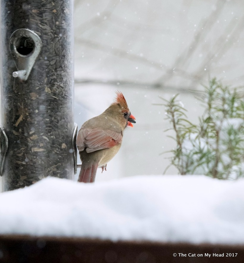 Cardinal in winter with sunflower seed in beak.