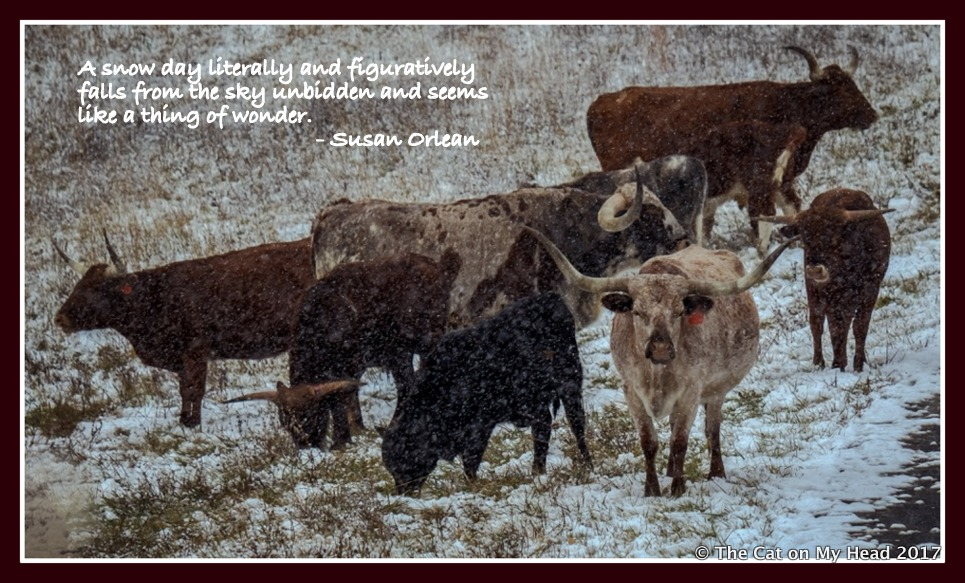 SNOW FALLS ON LONGHORNS