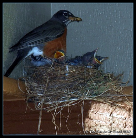 Robins in Spring