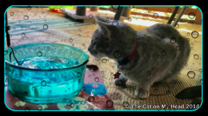 Sawyer is confused by the Aqua PET WATERER HY-DRATE FOUNTAIN in Kitties Blue catio water bowl.