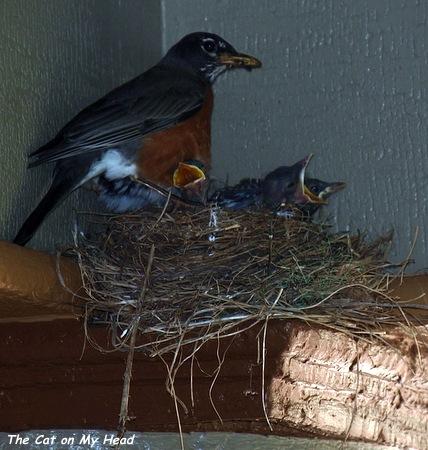 Mother robin feeding her three babies.
