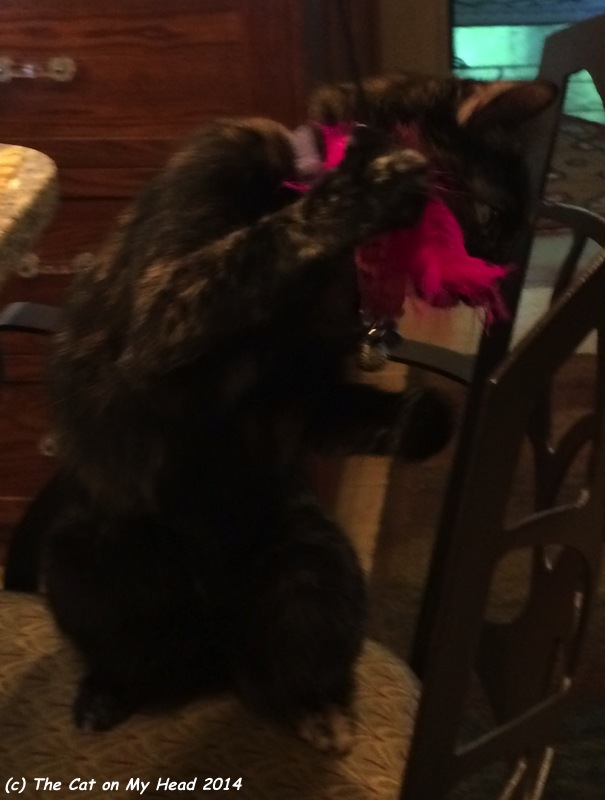 Astrid puts the bitey on the feather toy 3.