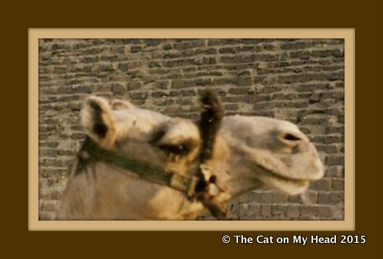 Frank the camel quest hosts Sunday Selfies