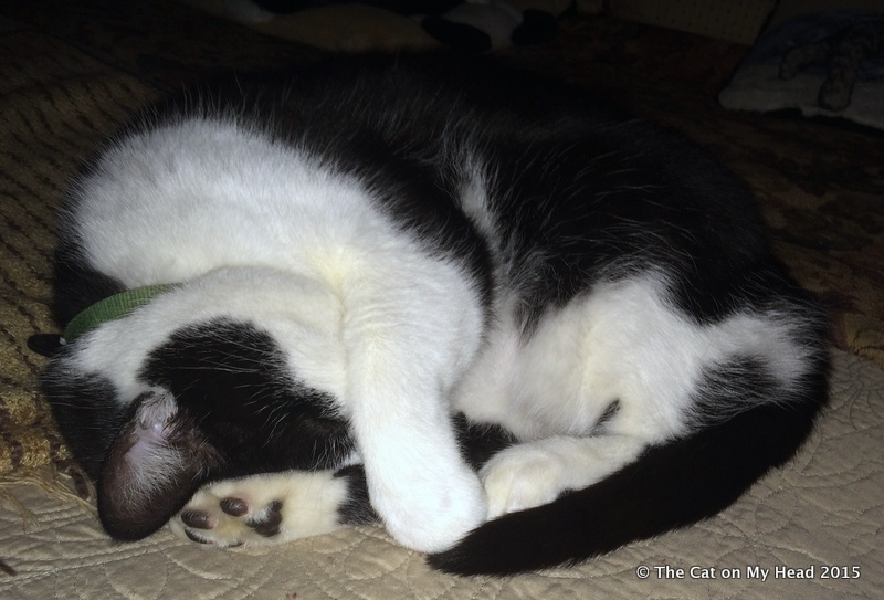 Cat Mauricio having a Doozy of a Snoozy