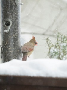 winter cardinal in the snow