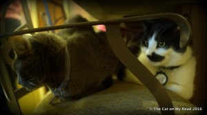 Mauricio hides behind Fiona during annual Kitties Blue round-up.