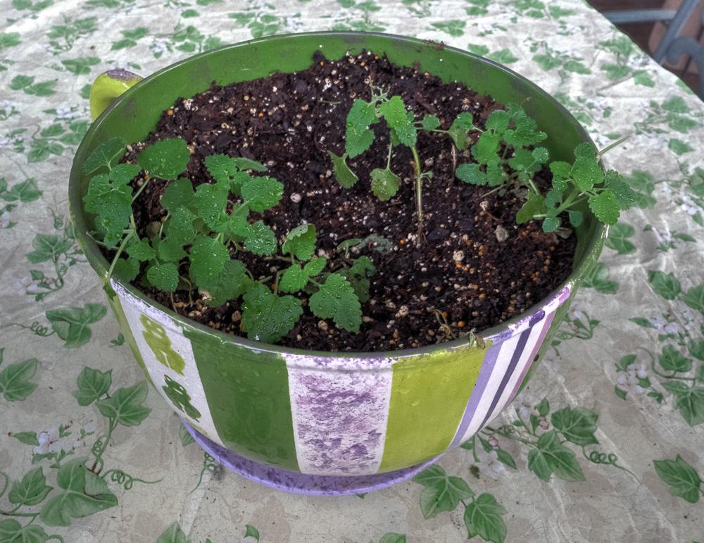 Kitties Blue sad nip plant.