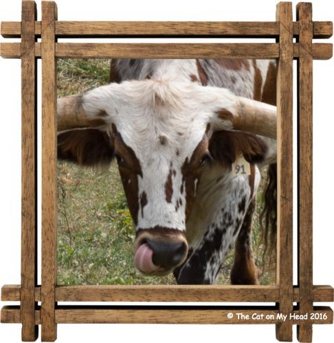 longhorn tongue selfie