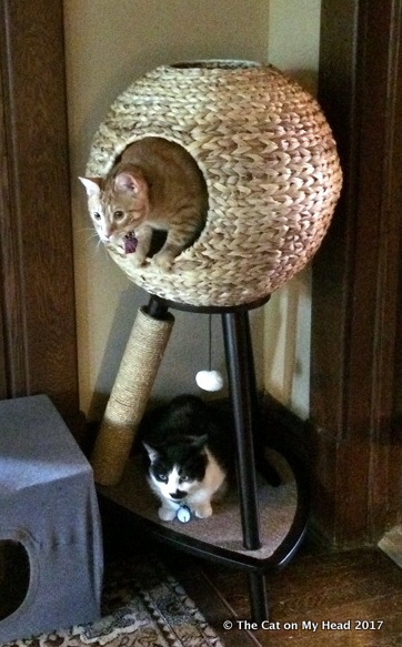Cooper Murphy shows the other kitties how to get in and out of tower.