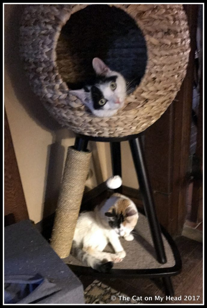 Lisbeth shows how she tries to dominate Lily Olivia for Cat World Domination Day.