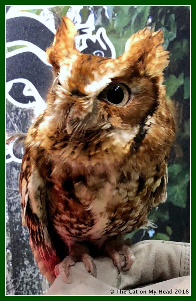 Eastern Screech Owl hosts Sunday Selfies.