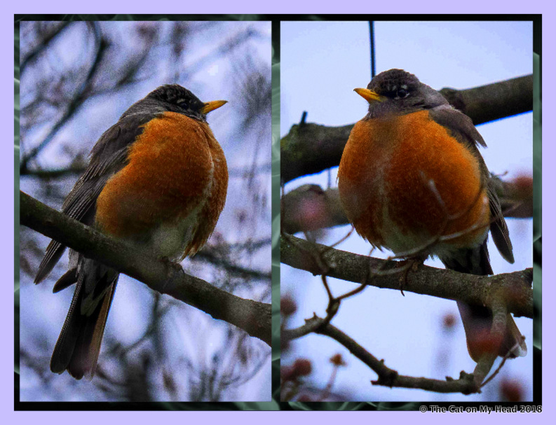 Robin on Wordless Wednesday